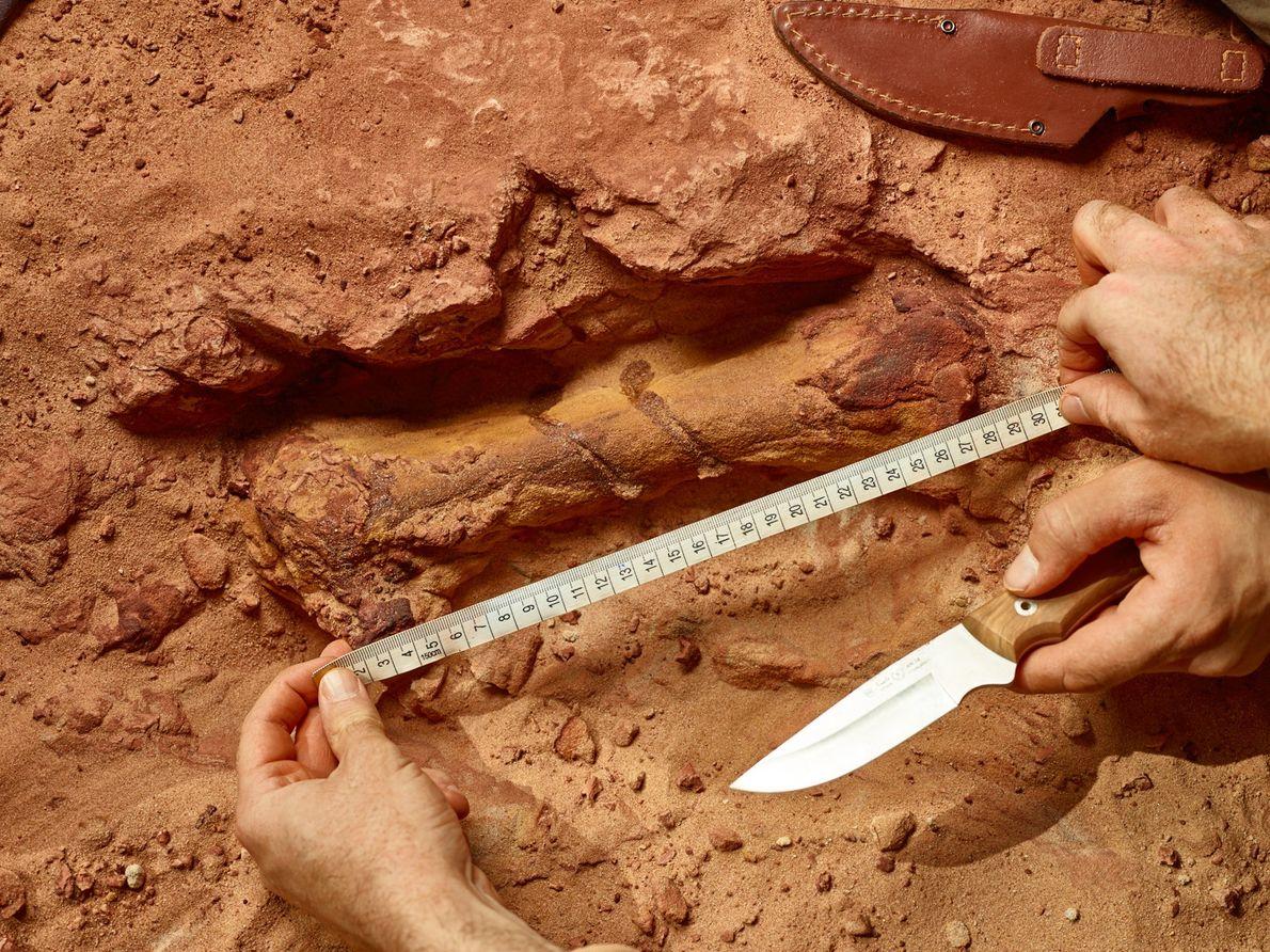 Un os de pied de Spinosaurus jaillit du grès rouge sur le site de fouille marocain. Le ...