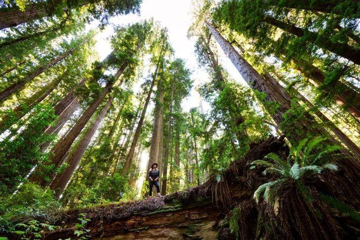 Ce bosquet d'anciens séquoias baptisé Cheatham Grove, non loin de Crescent City en Californie, a été ...