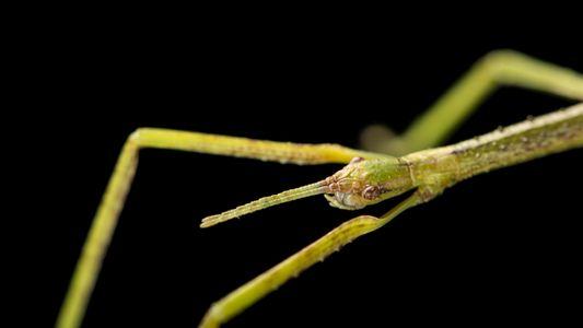 Les phasmes, des insectes étonnants