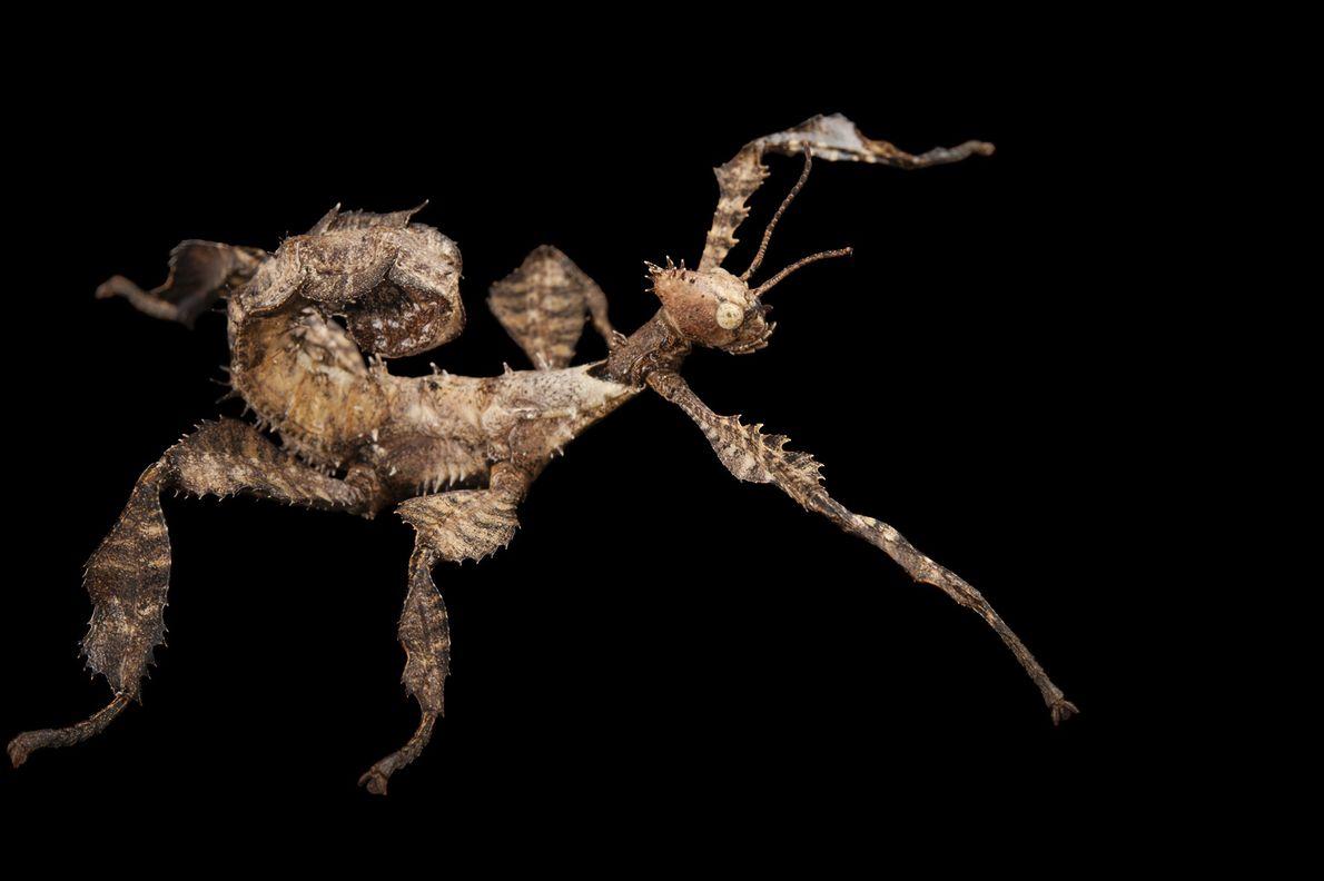 Un phasme à tiare (Extatosoma tiaratum), photographié au Zoo et Aquarium Henry Doorly d'Omaha, dans le ...
