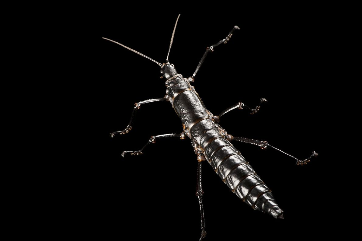 Un Dryococelus australis, phasme-insecte de l'île de Lord Howe, photographié au Zoo de Melbourne, en Australie.