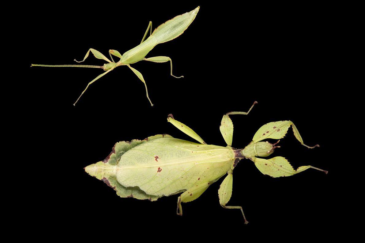 Deux spécimens de l'espèce Phyllium celebicum, photographiés au Zoo et Aquarium Henry Doorly d'Omaha, dans le ...