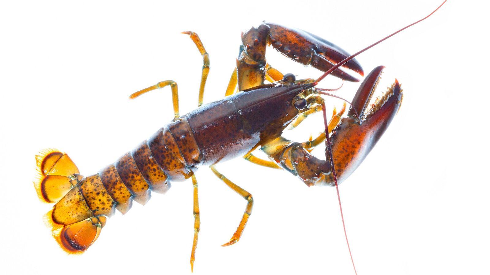 L'avenir des homards est menacé par le changement climatique.