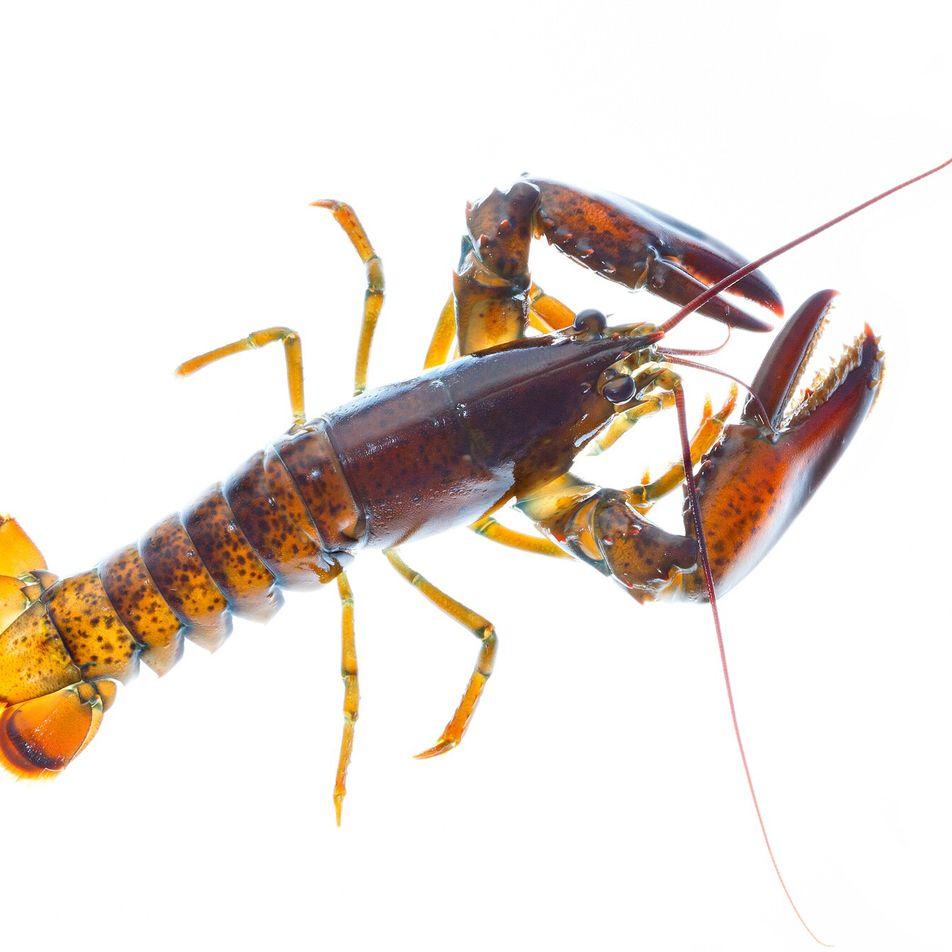 La reproduction des homards est menacée par le changement climatique