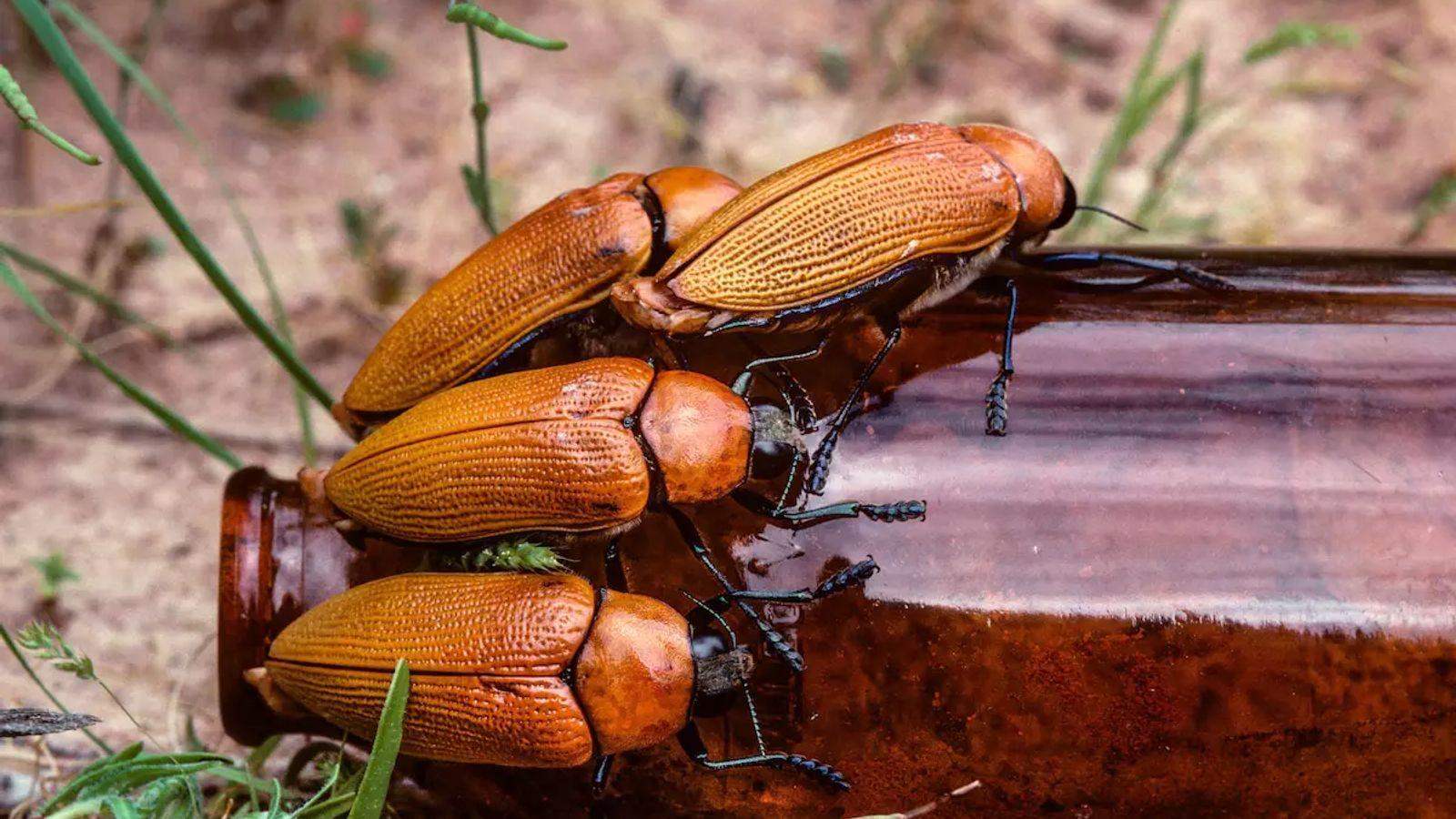 Sur la Shark Bay, dans l'État d'Australie-Occidentale, des Buprestidae mâles affichent le besoin « supranormal » de leur ...