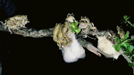 Des grenouilles Chiromantis xerampelina dans le parc Sabie, en Afrique du Sud.