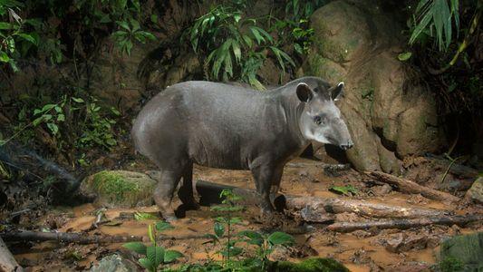 Il faut sauver le tapir du Brésil