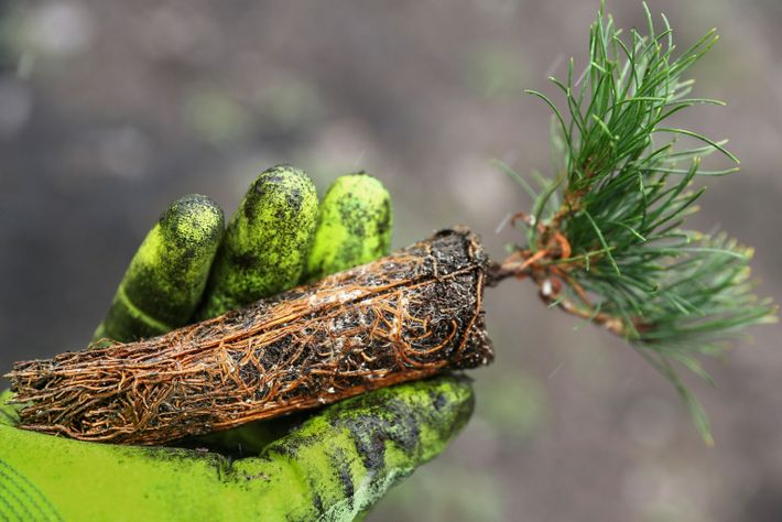 explore-BT-pine-seedling