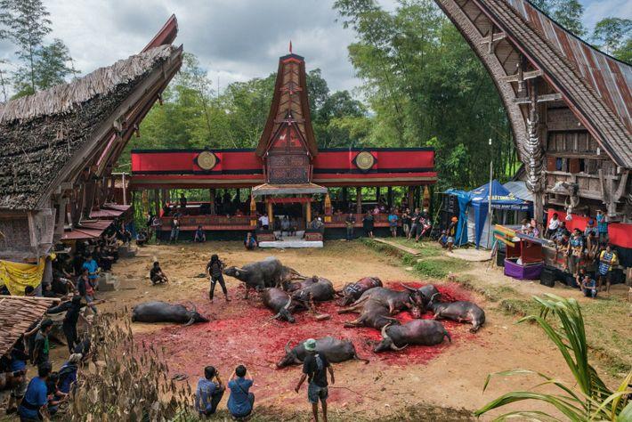 Les buffles d'eau à Toraja sont élevés pour être sacrifiés. Lors des funérailles les animaux sont ...