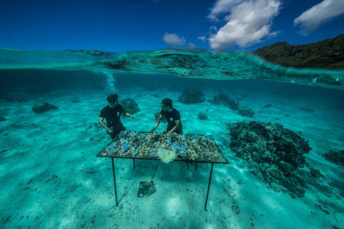 À Moorea, en Polynésie française, le groupe à but non lucratif Coral Gardeners installe des morceaux de corail ...