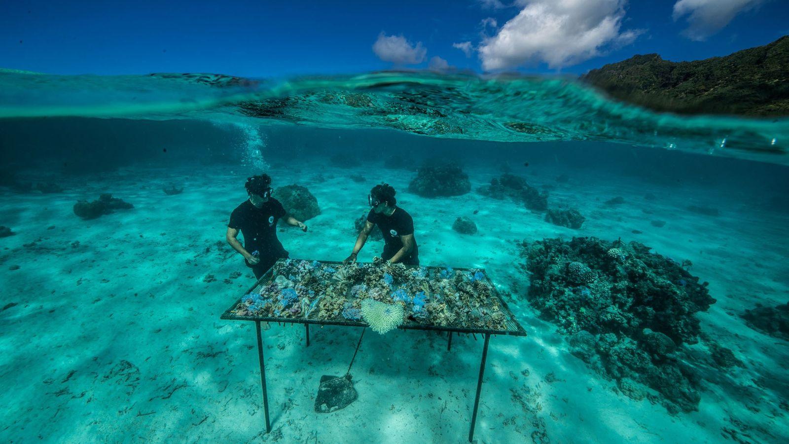 À Moorea, en Polynésie française, le groupe à but non lucratifCoral Gardenersinstalle des morceaux de corail ...