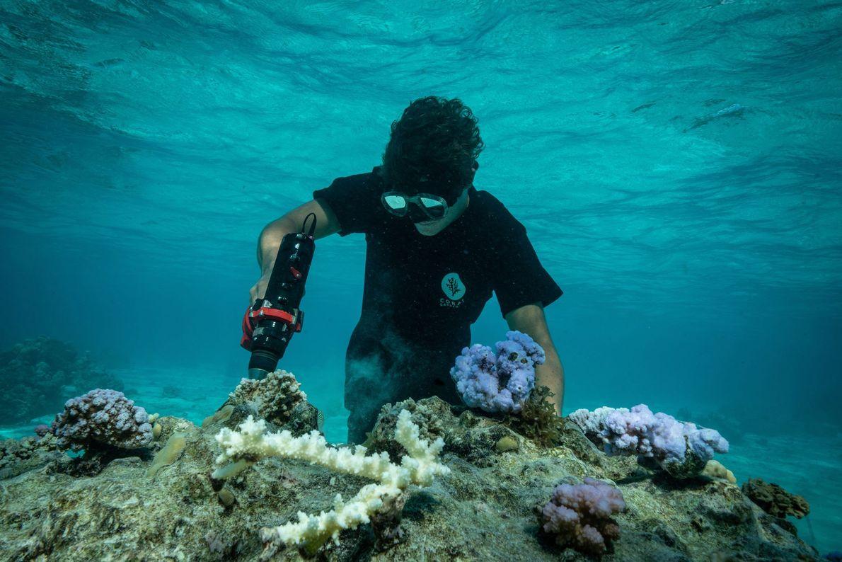 Le fondateur de Coral Gardeners, Titouan Bernicot, perce des trous dans une partie morte du récif ...