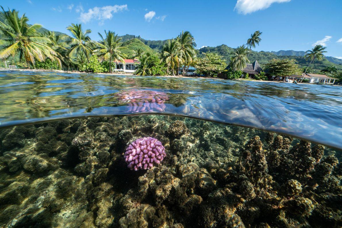Les Coral Gardeners collectent des fragments cassés de coraux résistants, comme ce Pocillopora dans le lagon de Moorea, ...