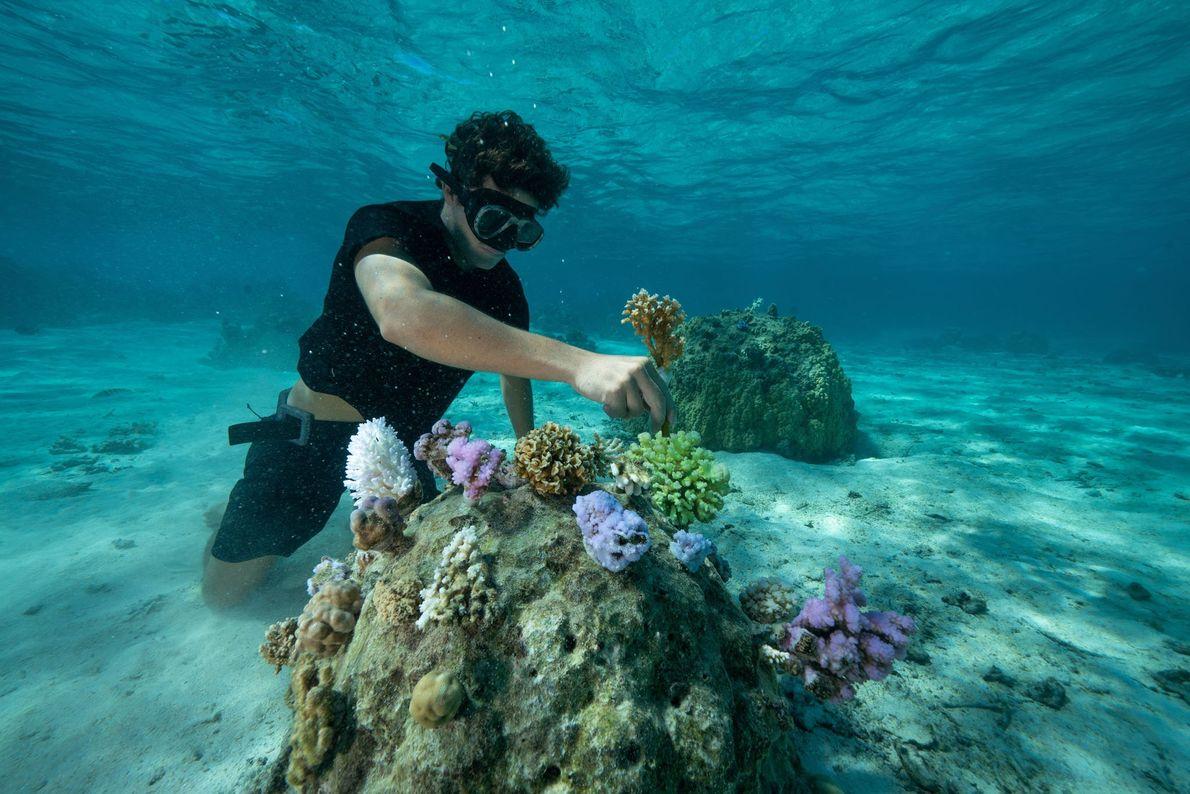 Bernicot replante un fragment de corail Pocillopora damicornis vivant qui a passé un mois en pépinière.