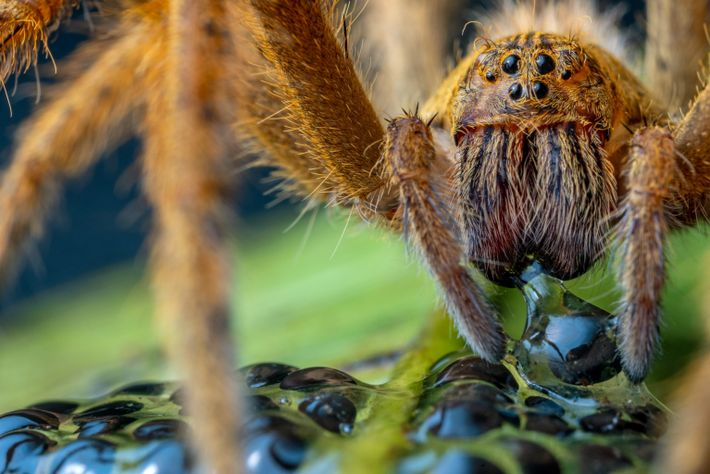 Une araignée mange les œufs de l'espèce Espadarana prosoblepon, à la réserve de Río Manduriacu au ...