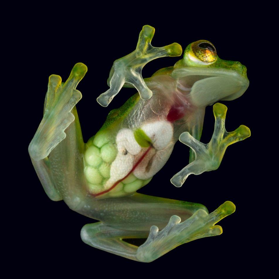 La peau de cette grenouille de verre est si transparente que l'on peut voir ses organes