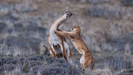 Un jeune puma achève sa première proie