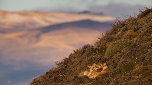 La Patagonie, le paradis des pumas