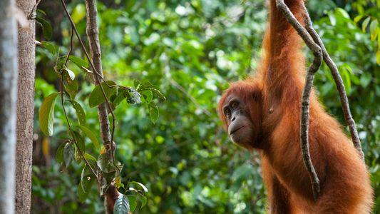 Les primates présenteraient plus de risques de contracter la COVID-19
