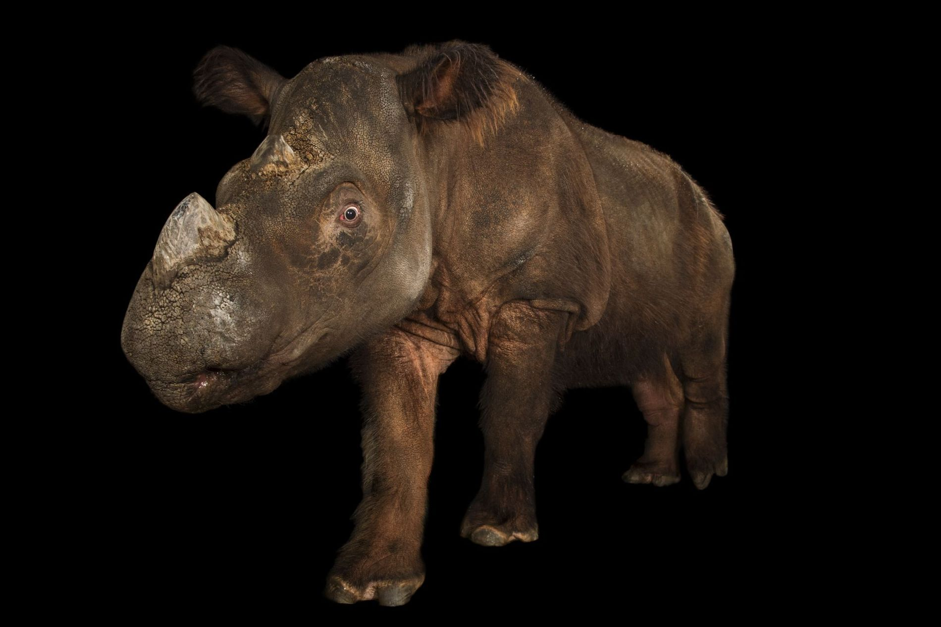 Ce rhinocéros de Sumatra, dont l'espèce est menacée d'extinction, a été photographié au Zoo de Cincinnati, ...