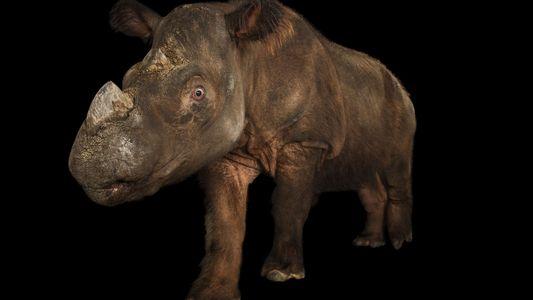 Une femelle rhinocéros de Sumatra capturée pour tenter de sauver l'espèce