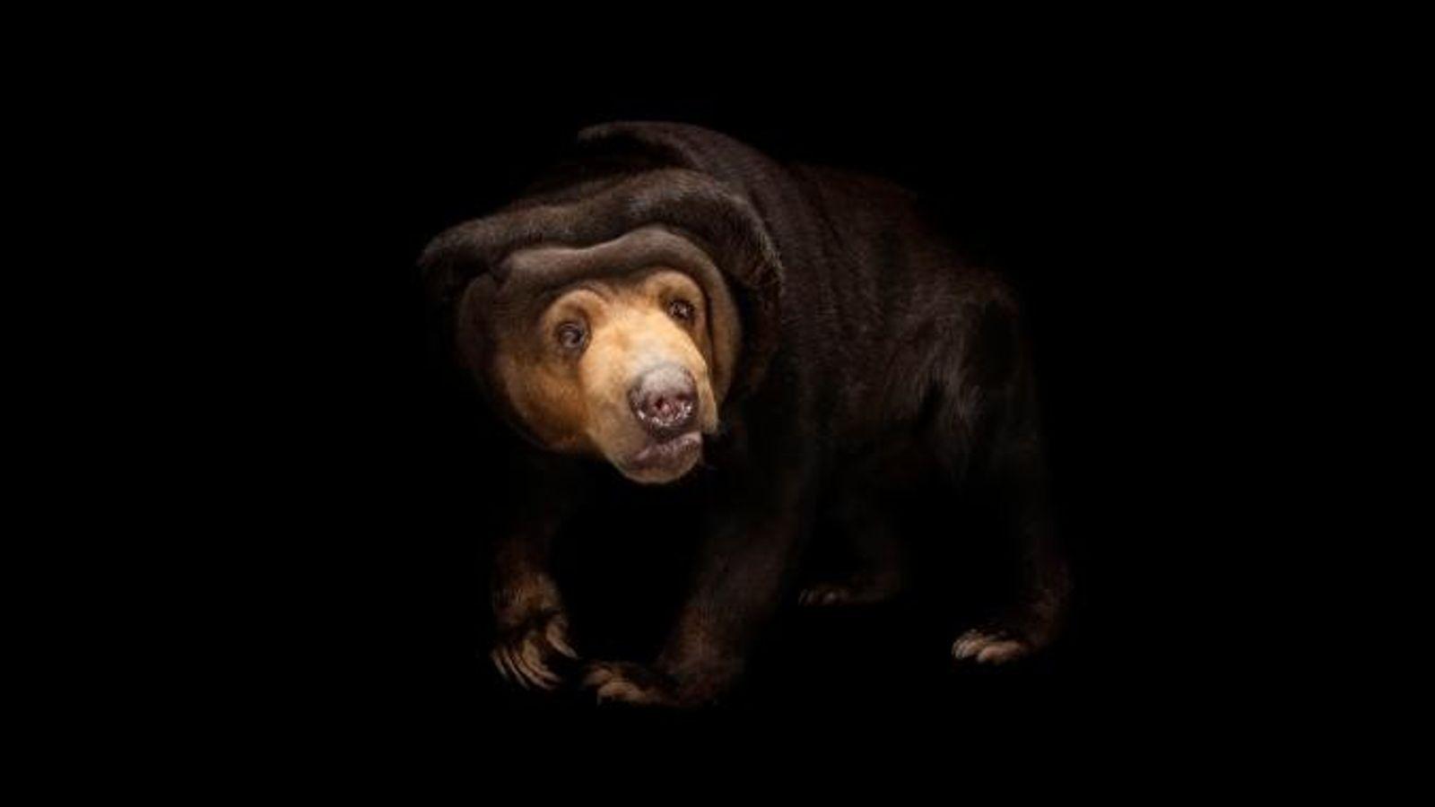 Un ours malais photographié au Miller Park Zoo de Bloomington dans l'Illinois.