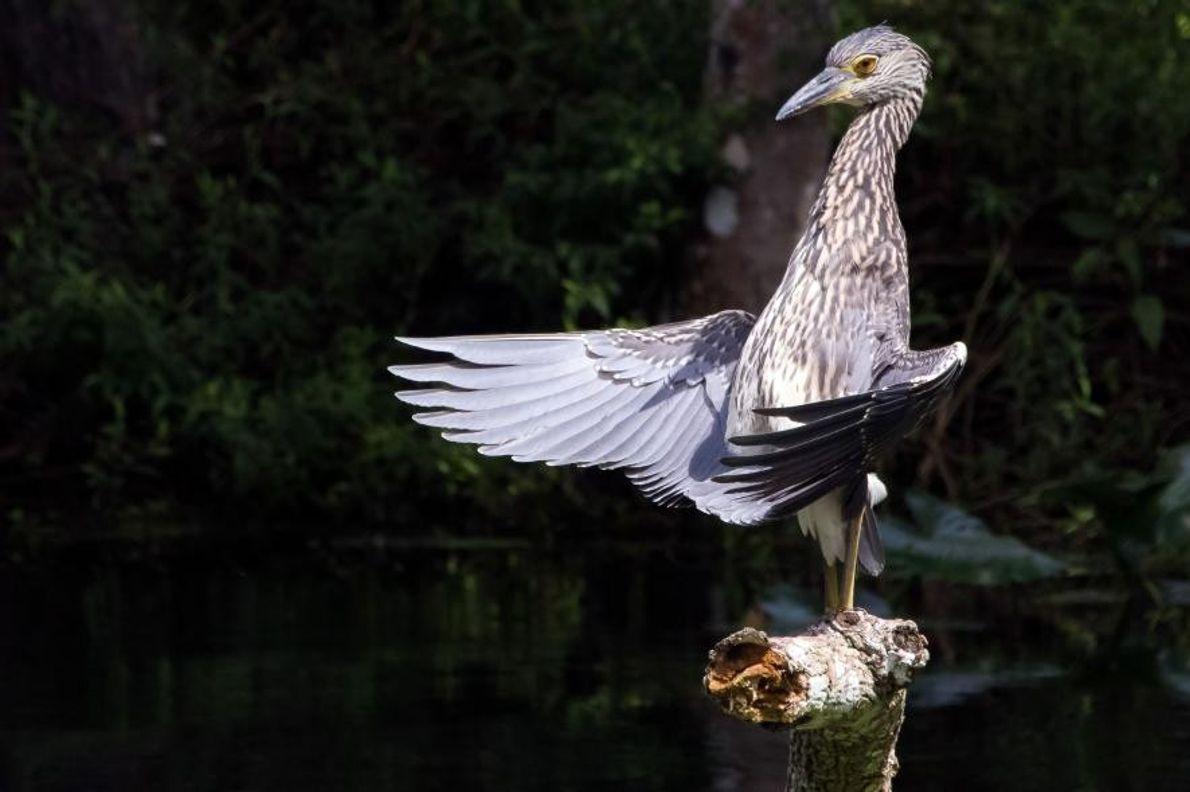 Un bihoreau violacé dans la rivière Silver, dans l'État de Floride aux États-Unis.