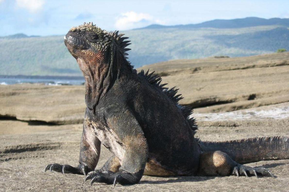 Un iguane marin sur l'île Santiago, dans les Galápagos.