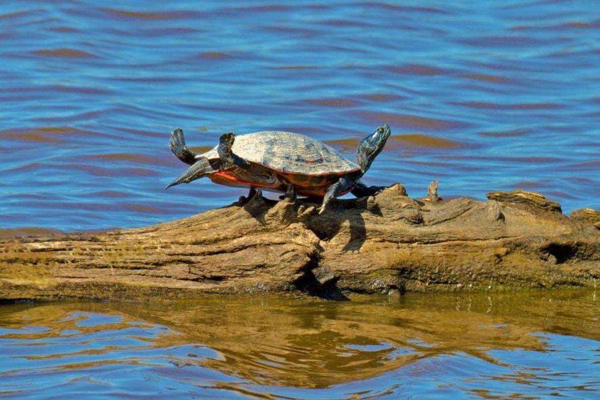Une tortue à Cambridge, dans l'État du Maryland, aux États-Unis.