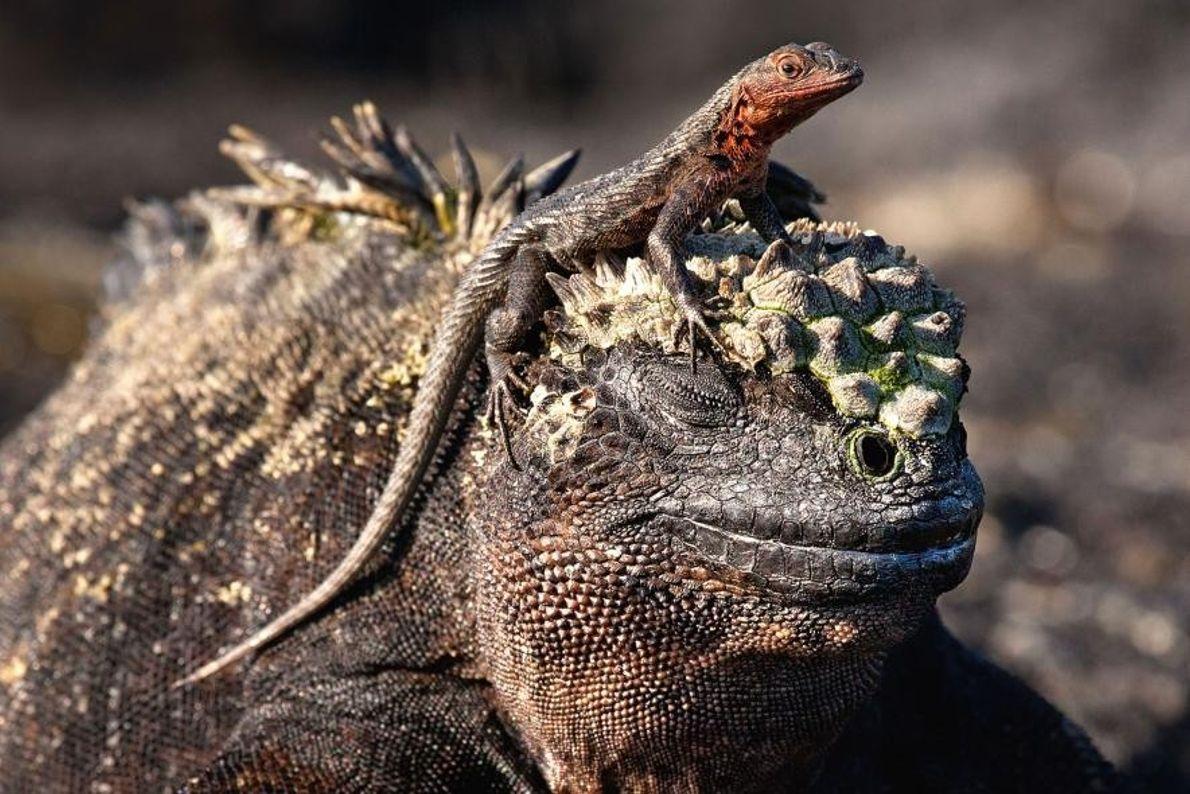 Un iguane marin surmonté d'un petit reptile dans les îles Galápagos.