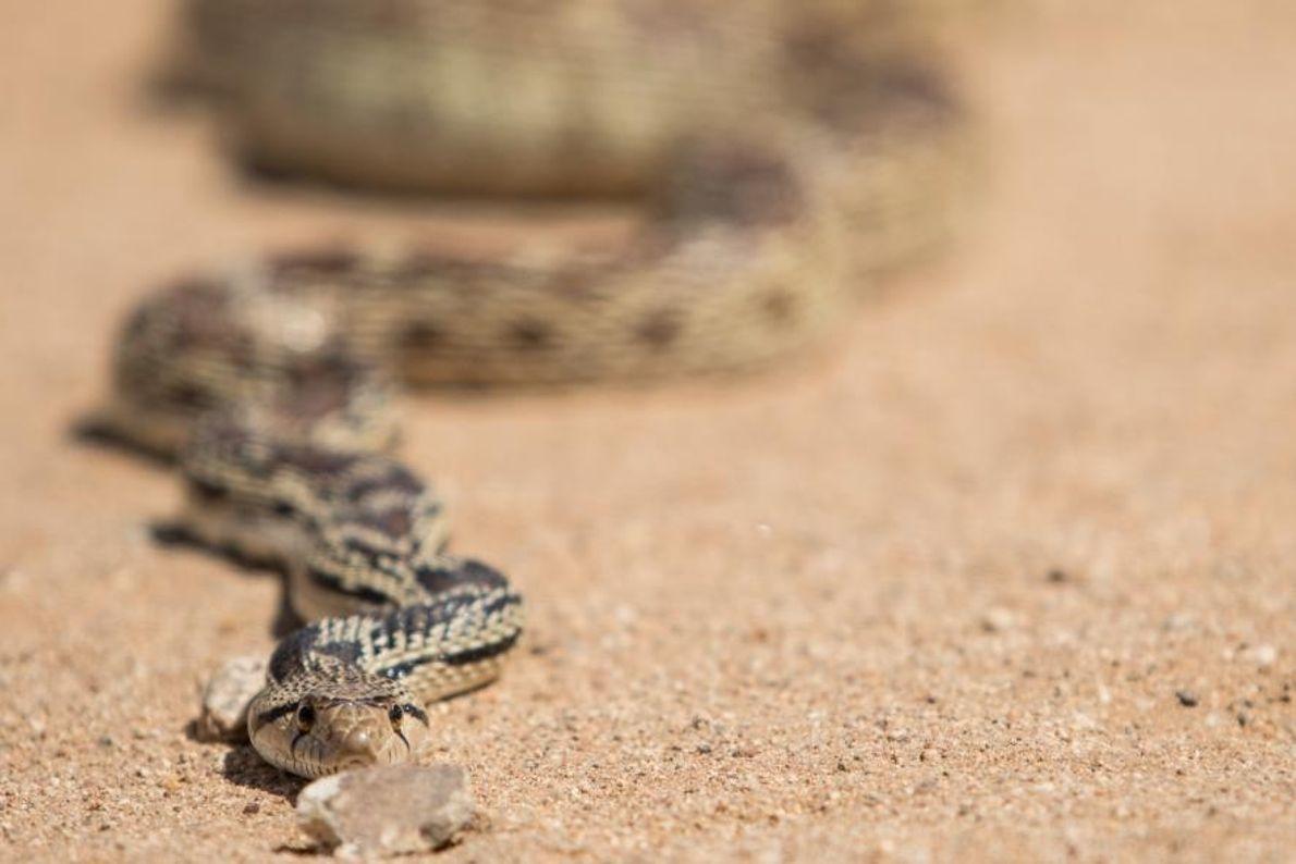 Une couleuvre à nez mince rampe au soleil à Chloride, dans l'État de l'Arizona, aux États-Unis.