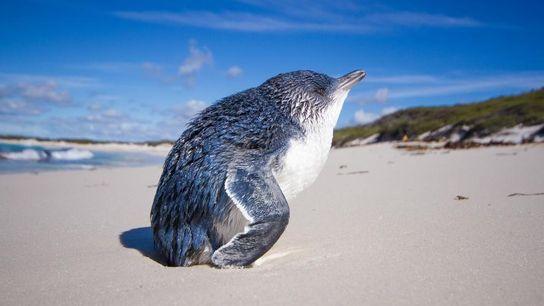 Un pingouin à St Helens, dans l'État de Tasmanie, en Australie.