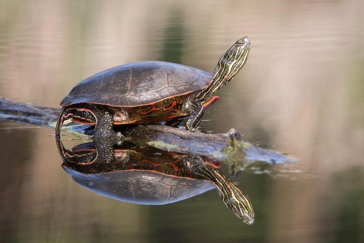 Une tortue peinte étire sa tête vers le soleil.