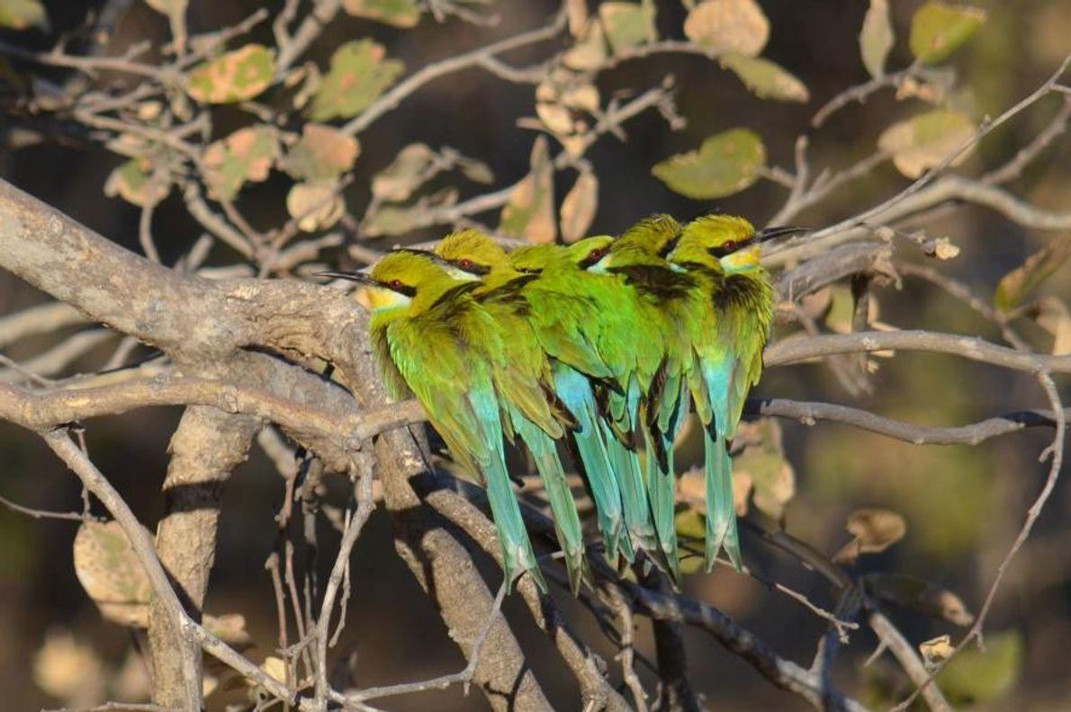 Des guêpiers à queue d'aronde font dorer leur joli plumage.