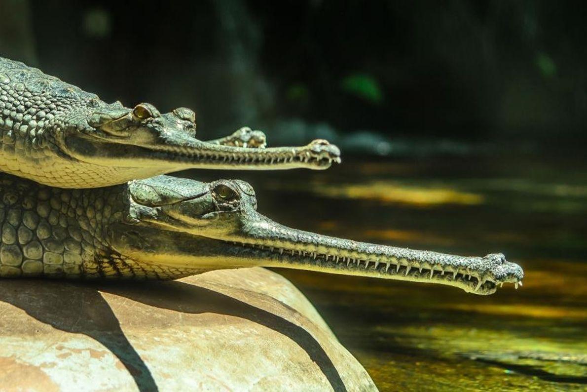 Des alligators à San Diego, dans l'État de Californie, aux États-Unis.