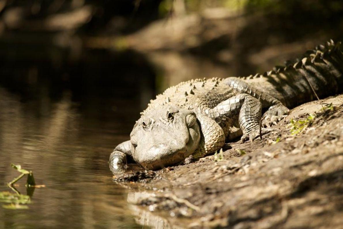 Un alligator à Tampa, en Floride, aux États-Unis.