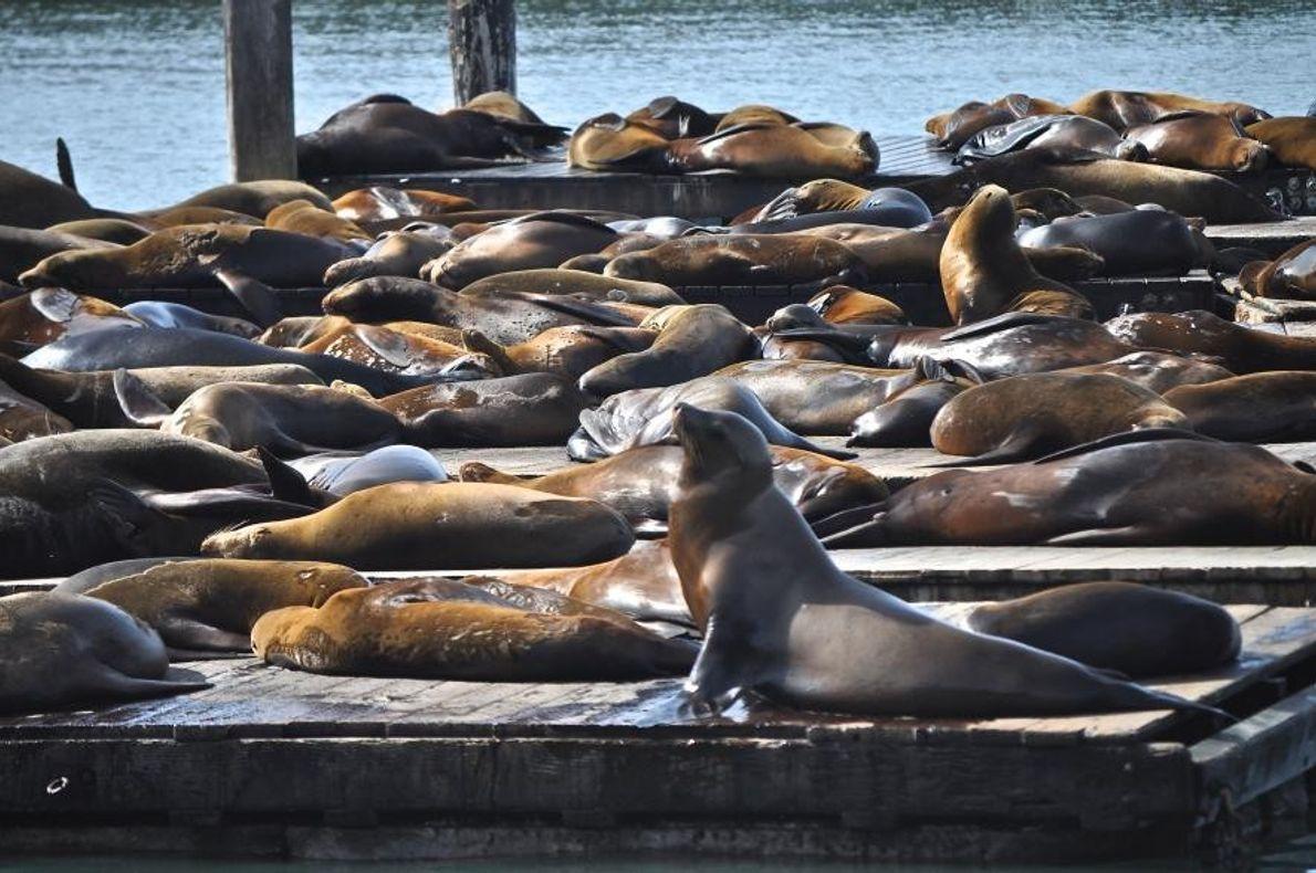 Des otaries à San Francisco, en Californie, aux États-Unis.