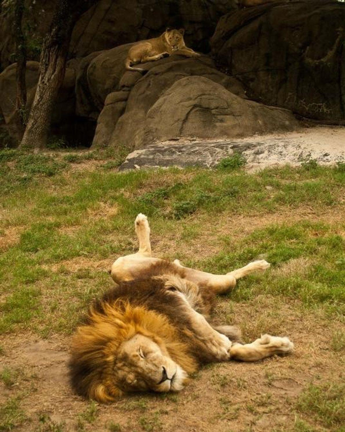 Un lion à Houston, au Texas, aux États-Unis.