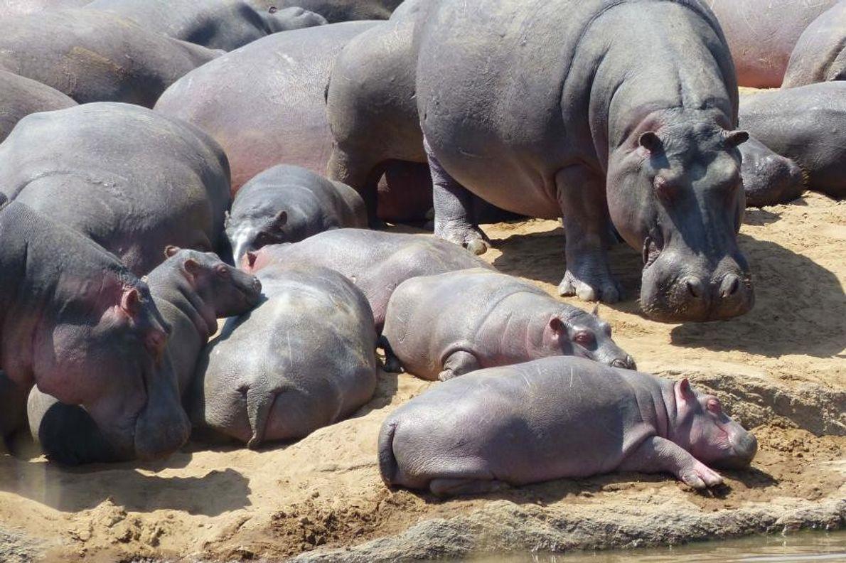Des hippopotames s'étendent sous le soleil de Tanzanie, en Australie.