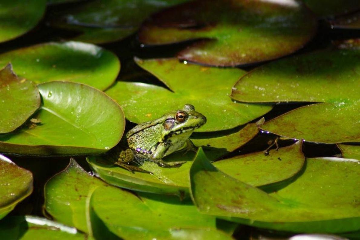 Une grenouille dans l'État du Michigan, aux États-Unis.