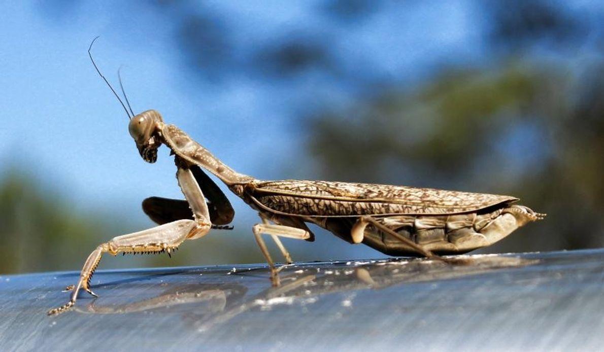Une mante à Griffin, dans l'État du Queensland, en Australie.