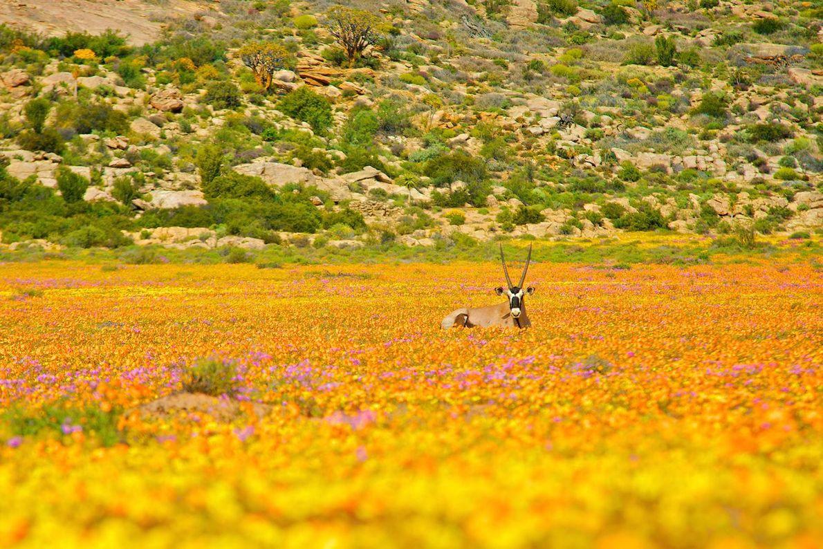 Après la saison des pluies, aux environs d'août et septembre, le Namaqualand, région aride de l'Afrique ...
