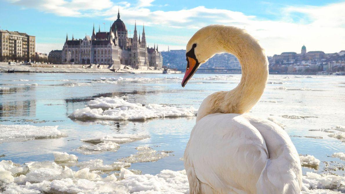 Un cygne observe Budapest, la capitale hongroise traversée par les eaux glacées du Danube qui ont ...