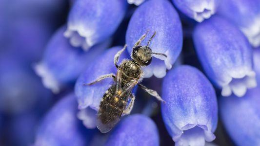 Un quart des espèces d'abeilles connues n'a pas été observé depuis les années 1990