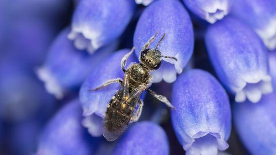 Mesurant 4,5 mm de long, les abeilles terricoles de Smeathman appartiennent à la famille des halictidés, ou ...