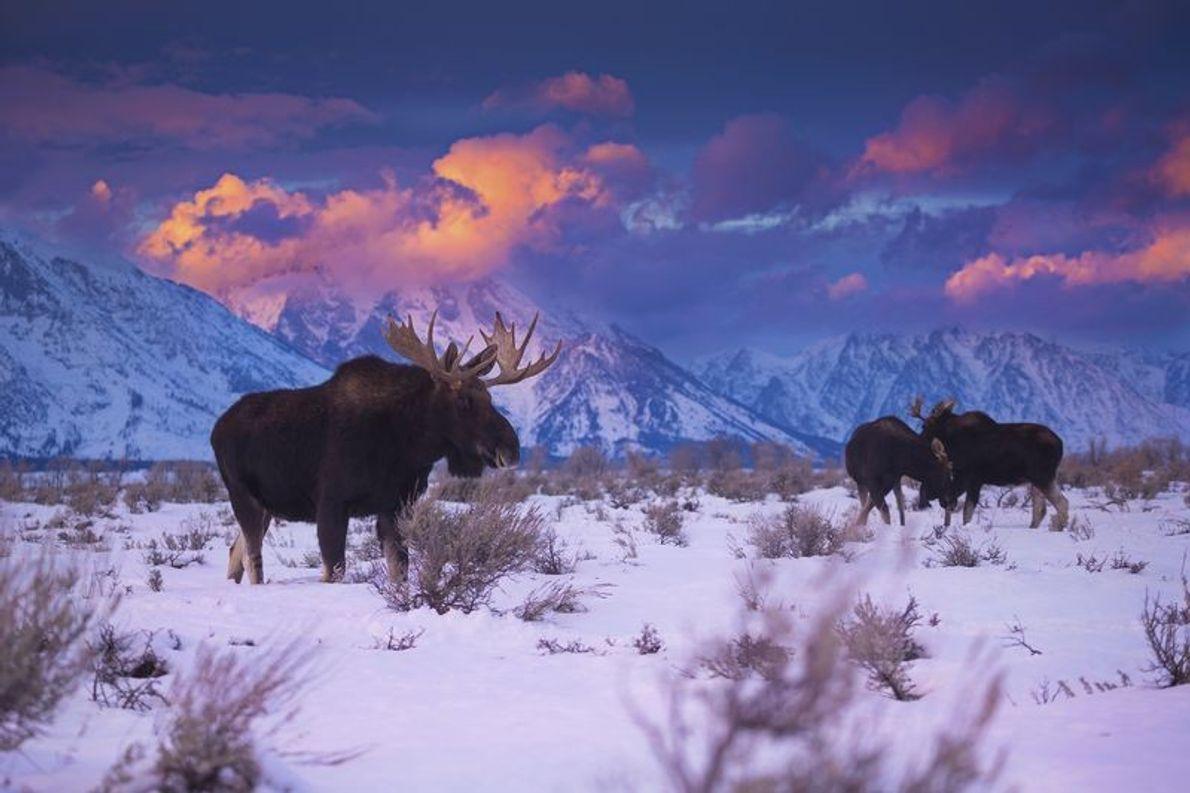 Pendant l'hiver, les élans, qui ont tendance à mener une vie très solitaire, se rassemblent dans ...