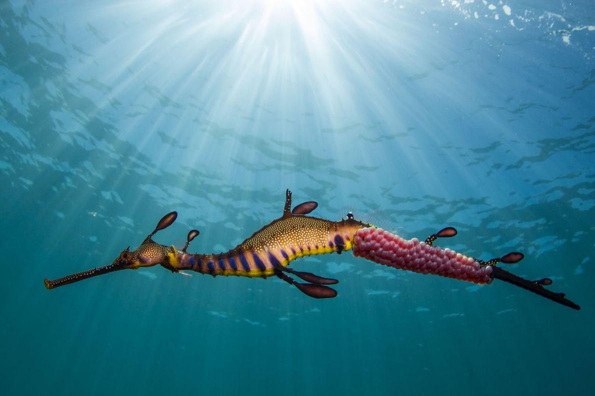 Au large des côtes australiennes nage un Phyllopteryx taeniolatus, une espèce de poissons marins de la ...