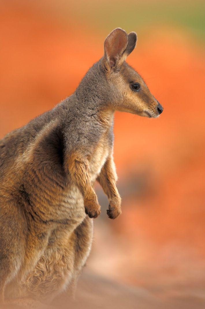 D'après les chercheurs, même si les populations de wallabys de l'île Eugène sont jugées stables à ...