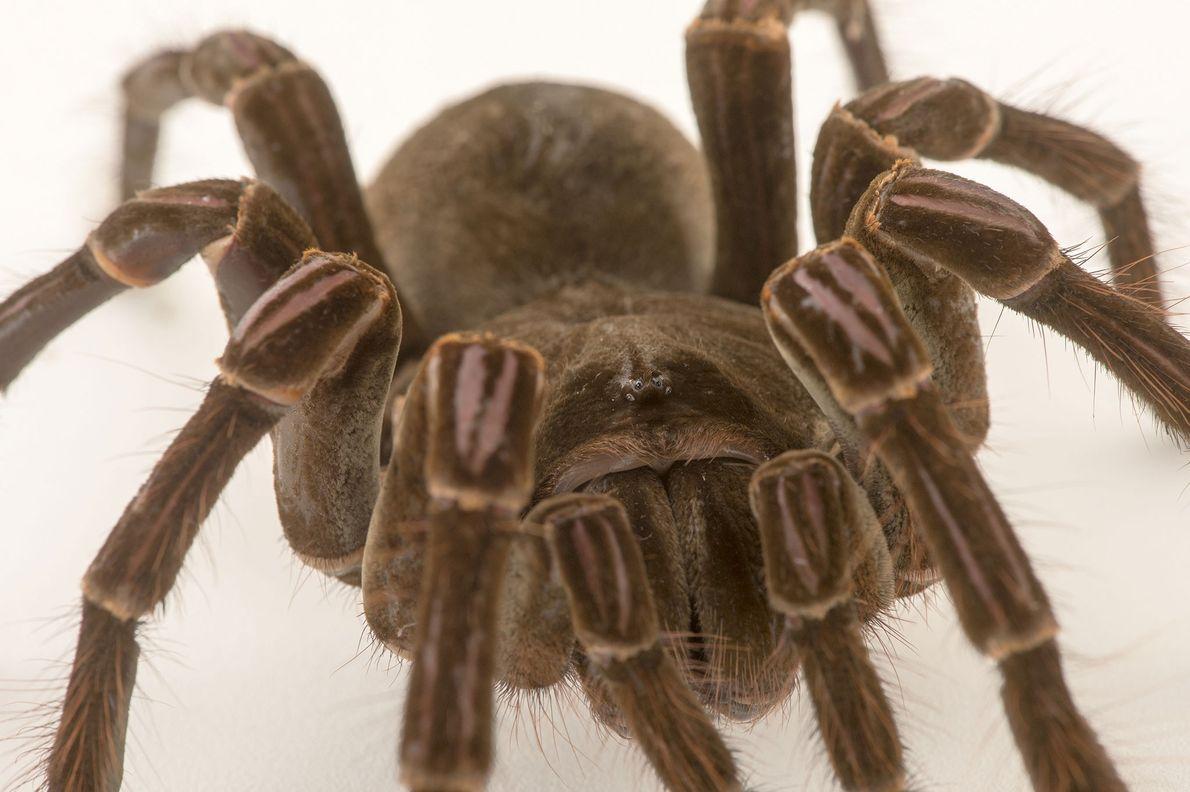 Une Theraphosa stirmi, espèce d'araignées mygalomorphes de la famille des Theraphosidae, photographiée au Zoo de Virginie, ...