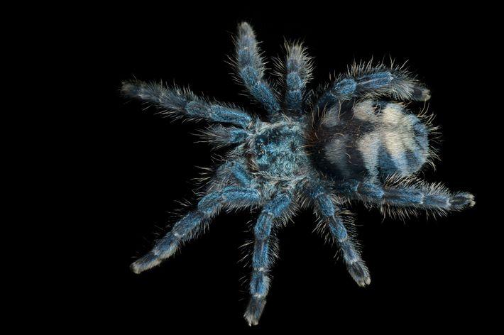 Une Caribena versicolor juvénile, araignée mygalomorphe de la famille des Theraphosidae (Avicularia versicolor) photographiée au Zoo ...